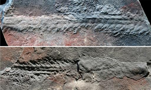 550-million-year-old worms are evidence of primitive locomotion