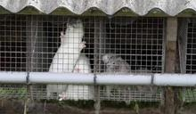 丹麥養殖水貂藏變種新冠病毒 可傳染給人