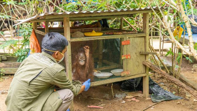 Penyelamatan orangutan dari Dusun Ampon, Desa Krio Hulu, Kecamatan Hulu Sungai, Kabupaten Ketapang. (Foto: Liputan6.com/IAR Indonesia/Aceng Mukaram)