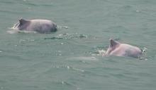 為白海豚減噪 學者模擬風機真實打樁噪音 證實可能傷及海豚免疫力