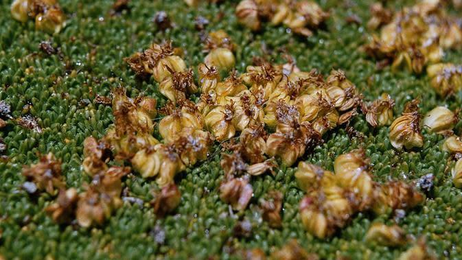 Azorella compacta (wikimedia commons)