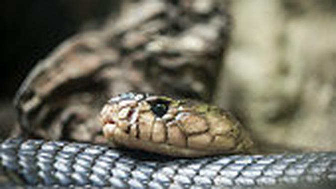 Ilustrasi ular kobra. (iStockphoto)