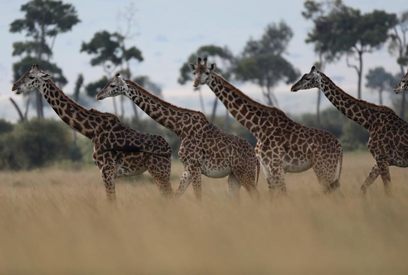 Giraffes are seen in Masai Mara National Reserve, Kenya, August 3, 2019 REUTERS/Goran Tomasevic TPX IMAGES OF THE DAY