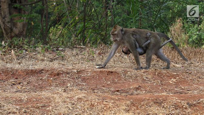 Kisah Monkey Busters, 3 Nenek Pengusir Monyet Liar di Desa