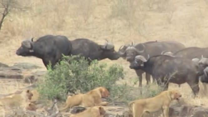 Kerbau Liar Afrika Jadi Pahlawan, Selamatkan Babi Hutan dari Kawanan Singa
