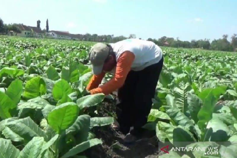 Tanaman tembakau di Madiun rusak akibat serangan hama ulat