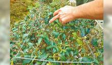 9月陰雨泡茶樹 坪林冬茶產量掉一半