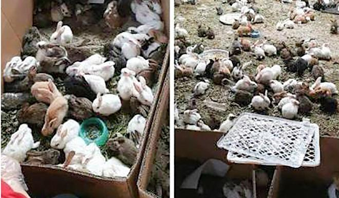 More than 870 rabbits were found alive, along with 99 hamsters, 70 dogs and 28 cats. Photo: Weibo