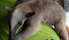 北市動物園小食蟻獸揹6月大寶寶脫逃 翻越柵欄畫面曝光