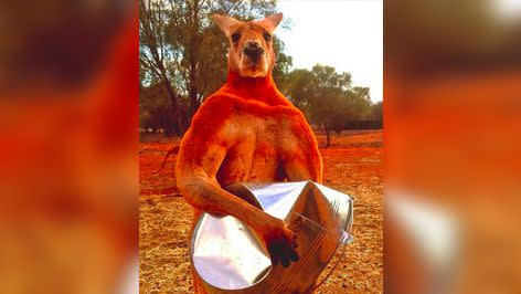 This photo of Roger crushing a metal bucket went viral last year. Photo: The Kangaroo Sanctuary