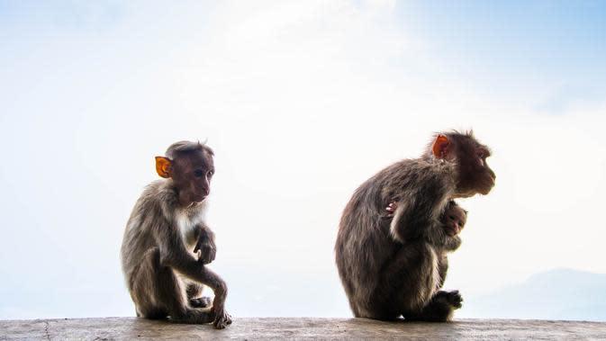 Ilustrasi Monyet (unsplash.com/Shashank Sahay)