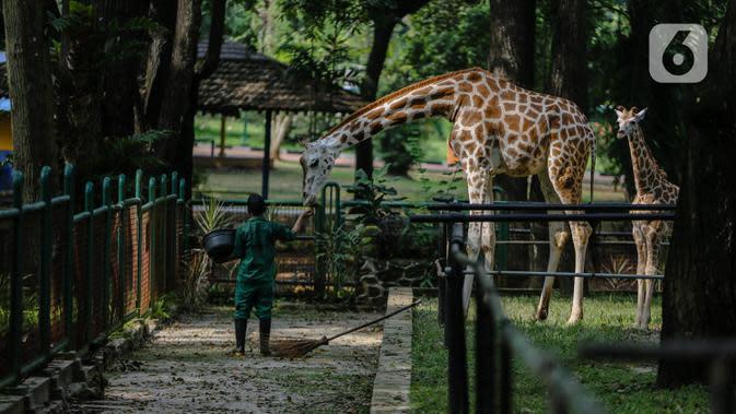 Petugas memberi makan jerapah di Taman Margasatwa Ragunan, Jakarta Selatan, Senin (20/4/2020). Pihak pengelola Taman Margasatwa Ragunan tetap melakukan perawatan terhadap seluruh satwa selama pandemi virus corona COVID-19. (Liputan6.com/Faizal Fanani)