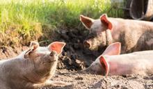 中國養豬業價格暴跌 迎產業寒冬