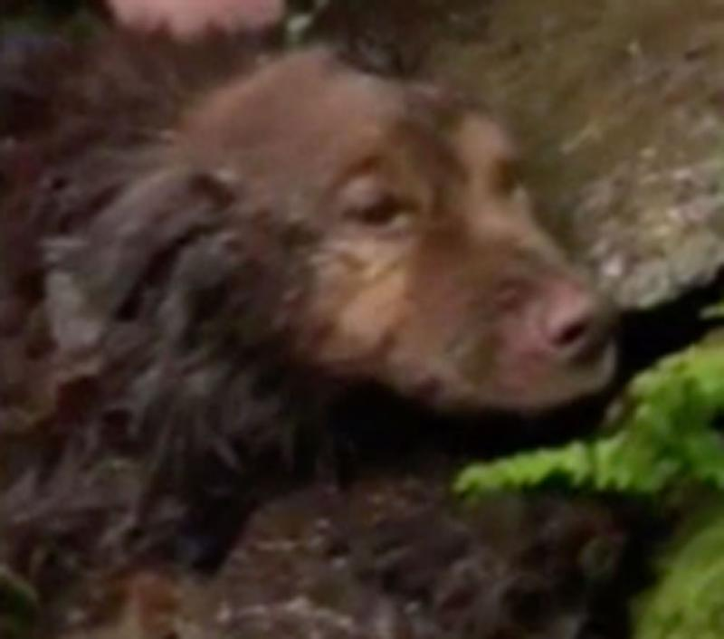 Sadie, a Chesapeake Bay Retriever, looks cold and dishevelled after she's found in Sleeping Giant State Park. The dog was missing for five days.