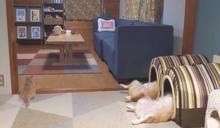 柯基仰躺睡窩露小短腿 奴嘆「習慣了」網笑:在照MRI?