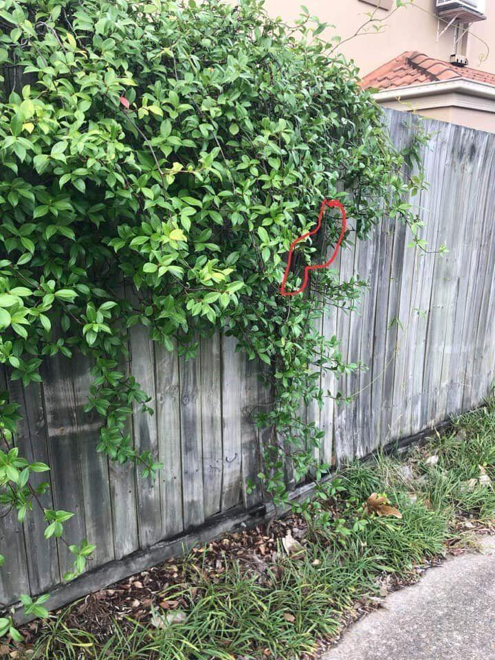 The snake was hiding in an unexpected position in the hanging bush. Source: Facebook/Brisbane Snake Catchers