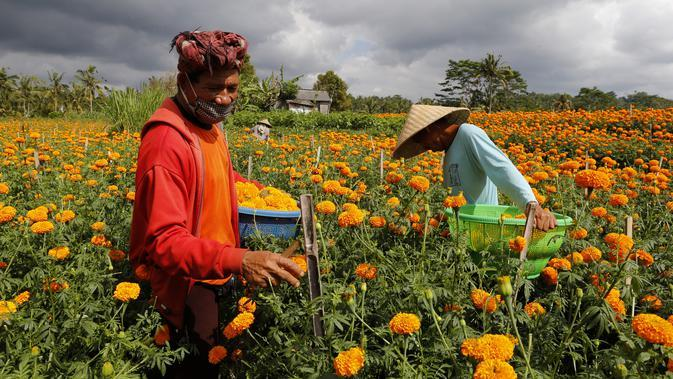 Pekerja memanen bunga marigold di Bali, Senin (21/9/2020). Umat Hindu di Indonesia sering menggunakan bunga Marigold saat berdoa sebagai persembahan. (AP Photo / Firdia Lisnawati)