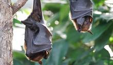 他出差3個月 一開門上百隻蝙蝠亂竄