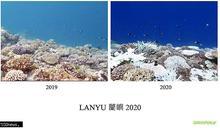蘭嶼珊瑚急遽白化 綠色和平將啟動復元監測計畫