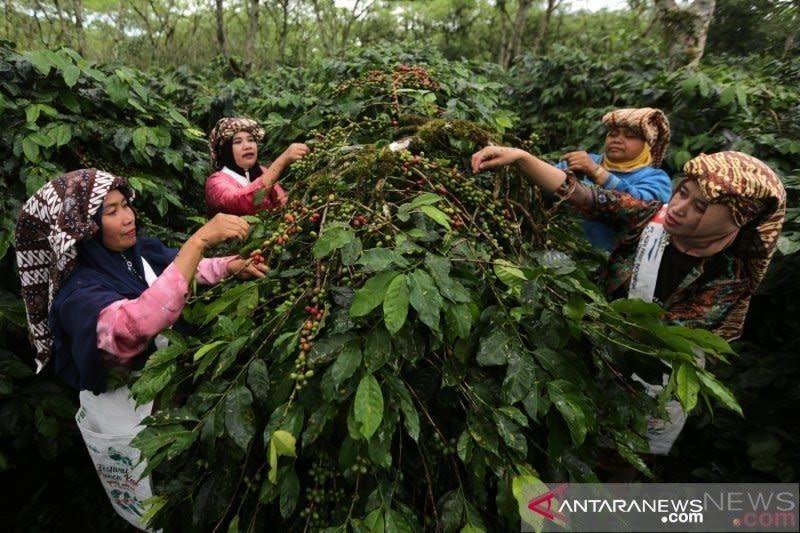 Jelang panen raya harga kopi arabica Gayo bertahan standar