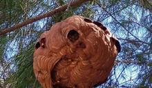 憂虎頭蜂影響觀光客 消防員英勇摘蜂窩遭螫傷