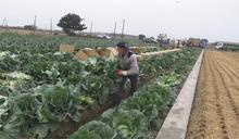 農民搶種高麗菜 農糧署警告:已經紫爆