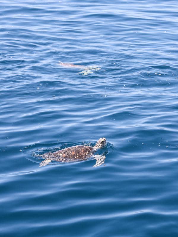 Penyu yang dilepaskan tampak berenang di laut di Wilayah Lingshui, Provinsi Hainan, China selatan, pada 9 Agustus 2020. Para peneliti memasang alat pelacak pada 10 ekor penyu untuk mempelajari kebiasaan dan habitat mereka. (Xinhua/Zhang Liyun)