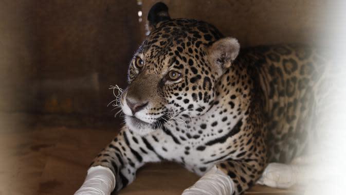 Kondisi seekor macan tutul yang terluka setelah mendapat perawatan di sebuah pusat perlindungan satwa di Negara Bagian Goias, Brasil (27/9/2020). Kebakaran hutan di lahan basah Pantanal terus meluas hingga mengancam kehidupan satwa liar dan lingkungan sekitar. (Xinhua/Lucio Tavora)