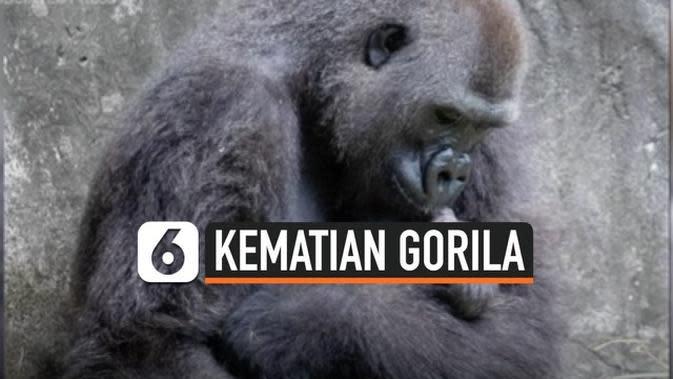 VIDEO: Bayi Gorila Langka di New Orleans Meninggal