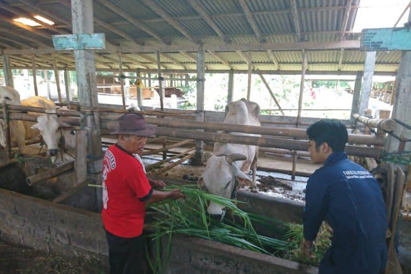 DP3 Sleman : Thailera bukan virus namun parasit darah pada sapi