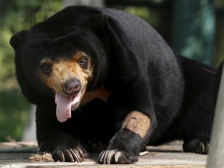 FILE PHOTO: A sun bear is seen inside a semi-natural enclosure at a bear rescue center in Tam Dao national park, north of Hanoi, Vietnam, July 22, 2015. REUTERS/Nguyen Huy Kham/File Photo