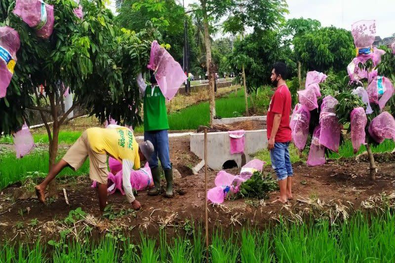 Petani Kulon Progo kembangkan tanaman klengkeng sistem surjan