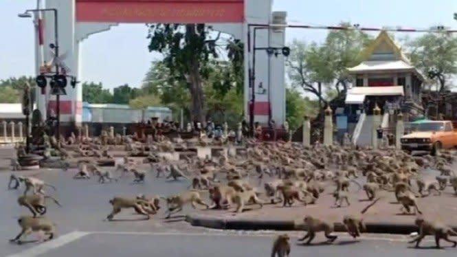 Cari Makan Sambil Menjarah, Ratusan Monyet Ditangkap Lalu Dikebiri