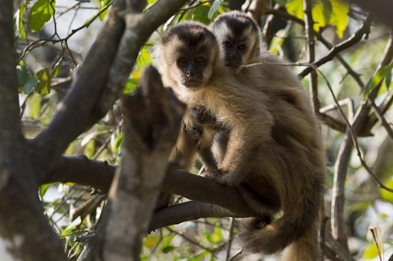 Monkey tool archaeological record reveals primate tool evolution