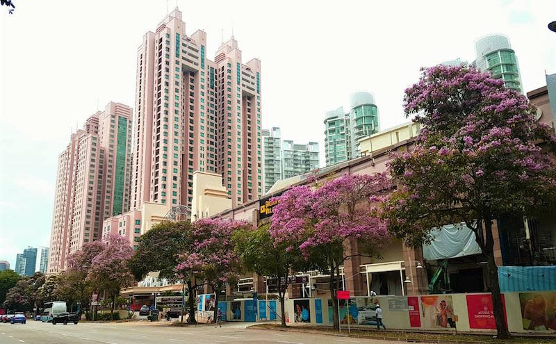 Trumpet Trees at Zion Road. Photo: Sng Hui Ting/NParks Facebook page