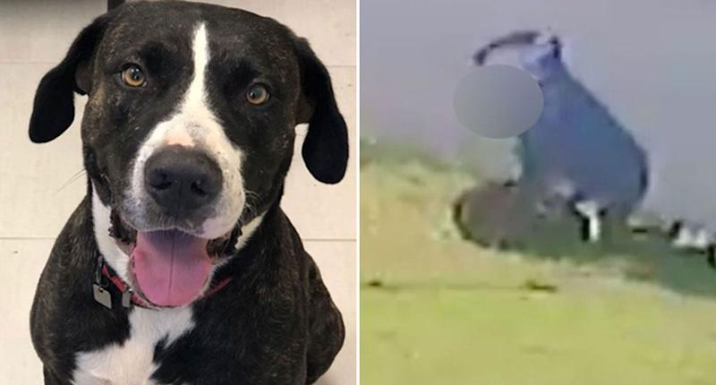 Pictured left is Jaboo a Bull Arab dog. He was filmed being punched repeatedly by his owner, Andrew Coleman, in Mackay in February. The incident is pictured on the right.