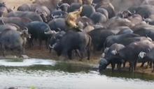 母獅闖水牛群遭「踩踏凌虐」圍攻 拋飛重摔慘死水坑