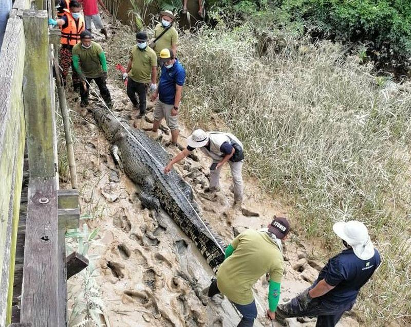 The 4.5-metre long crocodile is believed to have killed the boy last Sunday. — Picture courtesy of the state Fire and Rescue Department