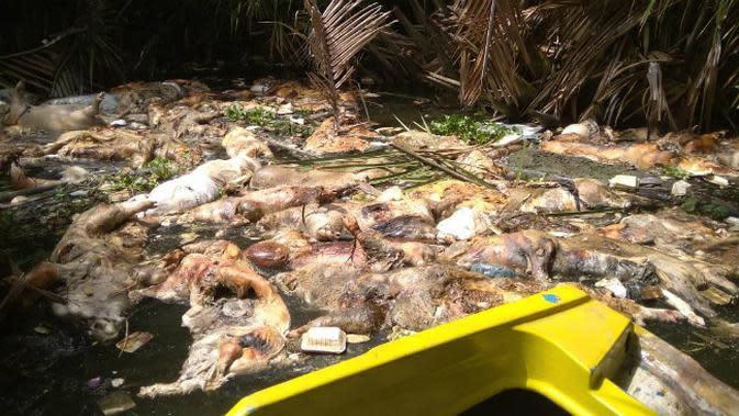 Babi mati terserang kolera babi di Sumatera Utara. (Liputan6.com/Reza Efendi)