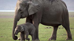 大象在白天需要老花眼鏡?5件關於大象的大小事