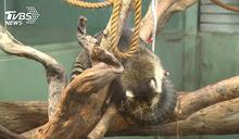 重生!「受虐浣熊」入住動物園 每月照顧萬元