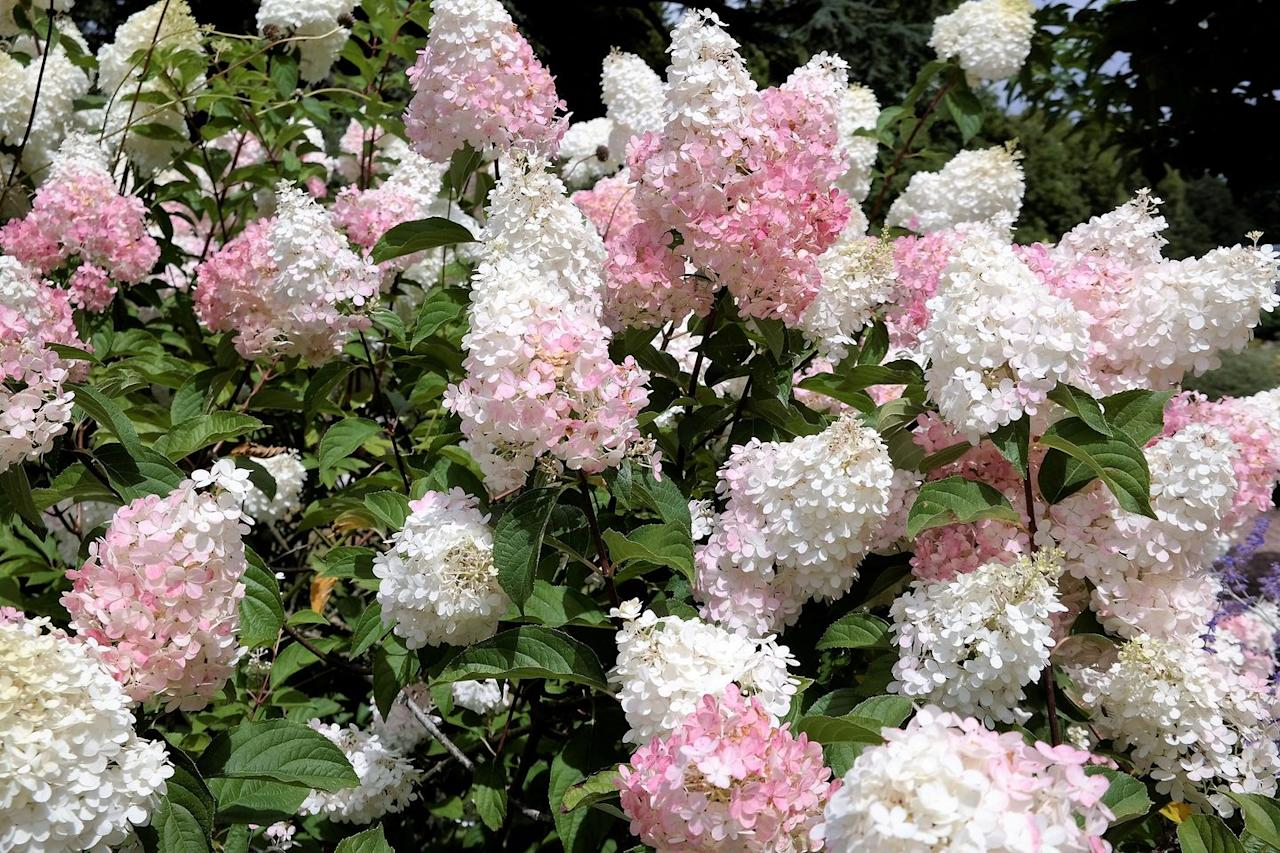 """<p>Hydrangeas are just about perfect: With hundreds of different varieties, they thrive in almost any climate. The lacy blooms emerge in early summer and last to fall, and they stay intact on the shrub to provide winter interest. One common misconception: That you can change bloom color on <em>any</em> hydrangea. The truth is only certain types—some big-leaf and mountain hydrangeas—change color <a href=""""https://extension.uga.edu/publications/detail.html?number=C973&title=Growing%20Bigleaf%20Hydrange.."""" target=""""_blank"""">based on the presence of aluminum in the soil</a>. Hydrangeas range in height from a few feet tall to 7 or 8 feet tall and wide, so read the label before planting so it has plenty of room to spread. </p><p>Varieties to try: Little Quickfire, Cherry Explosion</p><p><span style=""""""""><a class=""""body-btn-link"""" href=""""https://go.redirectingat.com?id=74968X1596630&url=https%3A%2F%2Fwww.homedepot.com%2Fp%2FPROVEN-WINNERS-1-Gal-Little-Quick-Fire-Hardy-Hydrangea-Paniculata-Live-Shrub-White-to-Pink-Flowers-HYDPRC1106101%2F206829632&sref=https%3A%2F%2Fwww.housebeautiful.com%2Flifestyle%2Fgardening%2Fg31965995%2Fplants-every-garden-needs%2F"""" target=""""_blank"""">SHOP NOW</a></span></p>"""