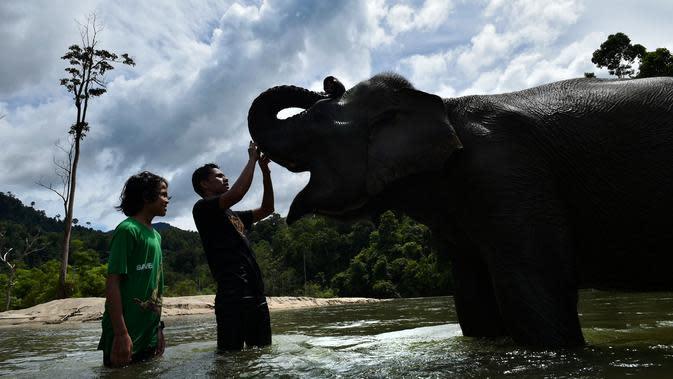 Pawang dan pengunjung menyentuh gajah betina sumatra sebelum memandikannya di sungai di Conservation Respons Unit (CRU) Sampoiniet, Aceh, Minggu (7/6/2020). Memasuki masa new normal, CRU Sampoiniet kembali membuka wisata konservasi meski membatasi jumlah kunjungan wisatawan. (CHAIDEER MAHYUDDIN/AFP)
