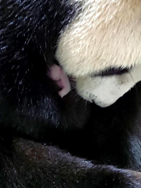 Panda raksasa Yuan Yuan dan bayinya di Kebun Binatang Taipei di Taipei, Taiwan, China pada 28 Juni 2020. Panda raksasa Yuan Yuan, salah satu dari pasangan panda asal China Daratan, melahirkan anak keduanya pada Minggu (28/6). (Xinhua/Kebun Binatang Taipei)