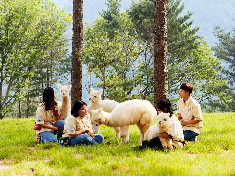 韓國春川草泥馬牧場