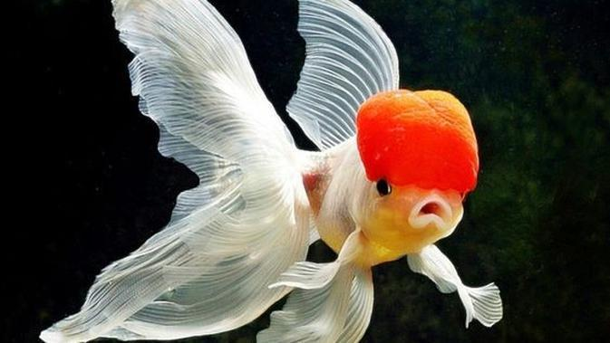 Ilustrasi Ikan Mas Koki Oranda (Foto: i2.wp.com/pinterest)