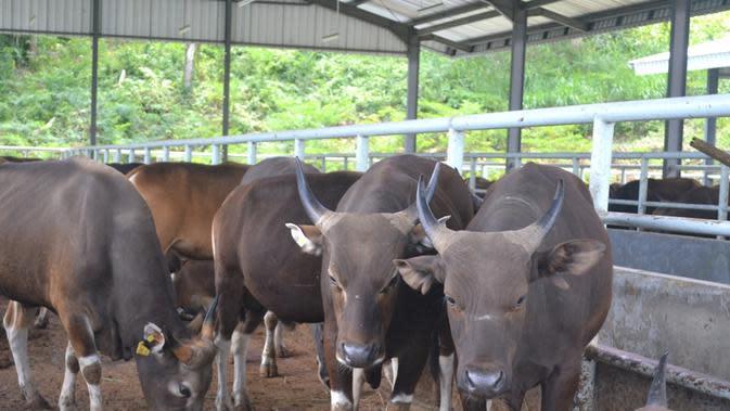 Lembah kematian Nusakambangan disulap menjadi lapas terbuka yang mengelola peternakan sapi Bali, tapi para napi di dalamnya tetap ketakutan. (Liputan6.com/Muhamad Ridlo)