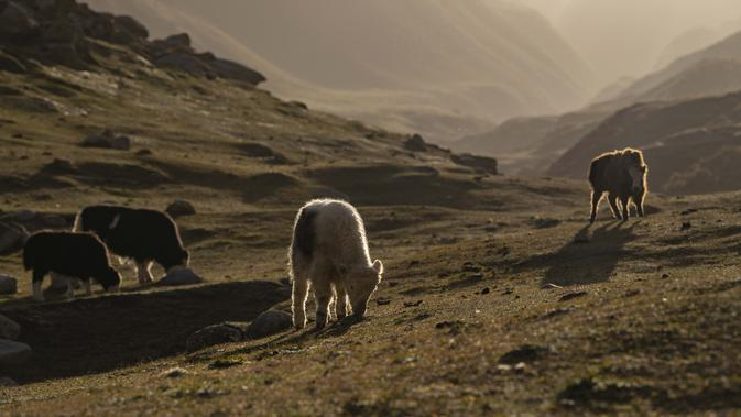 Beberapa ekor yak memakan rumput di padang rumput pegunungan di Wilayah Yecheng, Daerah Otonom Uighur Xinjiang, China barat laut, pada 8 Oktober 2020. (Xinhua/Hu Huhu)
