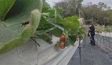 邊採草莓邊吃 採完吃完嫌太貴轉頭離去