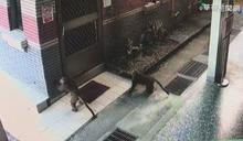 30隻台灣獼猴闖校園 挑釁學生想搶食!